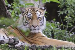 Siberische tijger (K.Verhulst) Tags: cats tiger tigers nl tijger amersfoort dierenparkamersfoort tijgers siberischetijger syberiantiger