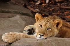 Afrikaanse leeuw - Panthera leo leo - African Lion (MrTDiddy) Tags: cat mammal zoo cub big kat leo african lion young bigcat antwerp antwerpen zooantwerpen jong grote nestor leeuw panthera zoogdier welp afrikaanse grotekat