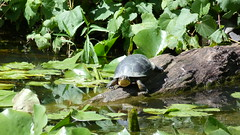 "Blanding's Turtle Basking • <a style=""font-size:0.8em;"" href=""http://www.flickr.com/photos/77994446@N03/9460976503/"" target=""_blank"">View on Flickr</a>"
