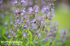 Sage and bee (NILPhotography:) Tags: summer england plant flower green london nature insect nikon dof purple wildlife sunny sage bee d600 nilphotography nathanlucking