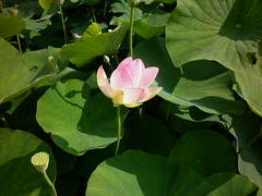 Lotosblume, Nelumbo nucifera (GMH-SD-HH) Tags: deutschland arboretum lotos indianlotus sacredlotus blumenpark lotosblume ellerhop