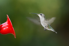 Hummingbird-251590.jpg (Mully410 * Images) Tags: birds backyard hummingbird birding feeder hummer birdwatching birder rubythroatedhummingbird