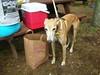 GreyhoundPlanetDay2008057