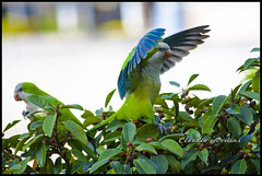 De asas abertas (Claudio Arriens) Tags: brasil portoalegre pássaro riograndedosul birdwatcher canonef70300mmf456isusm canoneos40d