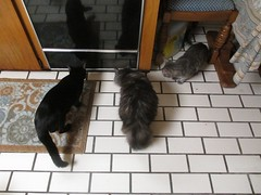 Excitement (Philosopher Queen) Tags: cats dusty kitchen bug chats gatos luck kitties hugo hunt chasing