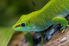 Green Anole Lizard (Martin de Lusenet) Tags: holland amsterdam lizard anole greenlizard artis autofocus coth 2013 greenanolelizard specanimal platinumheartaward coth5 sunrays5