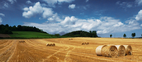sunny cornfield