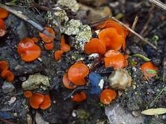 Melastiza cornubiensis (Berk. & Broome) J. Moravec = Melastiza chateri (W.G. Sm.) Boud.  - Orange Cup (Peter M Greenwood) Tags: orange cup orangecup chateri melastizachateri melastiza melastizacornubiensis cornubiensis
