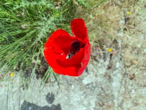 Poppy 1754.jpg