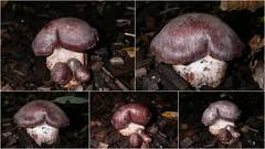 Cortinarius sp. (Thank you Antonio) (Steviethewaspwhisperer) Tags: mushroom mushrooms fungi fungus toadstool toadstools