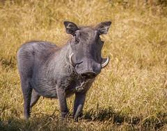 Wart Hog (reweaver33) Tags: africa animals botswana mammals warthog kwara