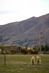 In pair (anthonyleungkc) Tags: newzealand sheep pair sony nz alpha 2008 a100 lightroom tarmon 100