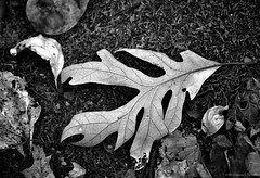 leaf (LauraJSwindle) Tags: autumn ny fall nature monochrome leaves moss earth foliage wantagh nikond3100