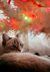 (The Pissed Off Red Head) Tags: trees decorations cats pets holiday animals nikon feline december christmastree christmaslights ornaments happyholidays nikond40
