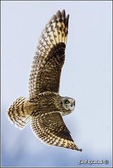 Short-eared Owl (20131214-0102) (Earl Reinink) Tags: ontario canada nature niagara raptor owl earl naturephotography shortearedowl owlinflight shortearedowlinflight earlreinink reinink