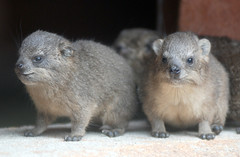 Rock hyrax (floridapfe) Tags: two cute animal rock zoo korea hyrax everland rockhyrax