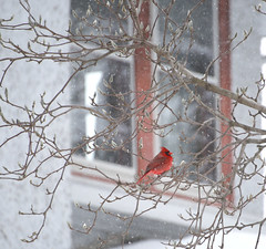 Snowy Perch (moxie-girl) Tags: winter male illinois cardinal snowing dekalb