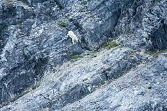 _MG_4308a (markbyzewski) Tags: alaska kids ugly mountaingoats glacierbaynationalpark