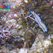 Elegant flatworm (Pseudoceros concinnus)