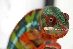 Drogo (Florence Ivy) Tags: reptile lizard chameleon herp drogo pantherchameleon kammerflagekreations