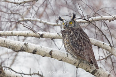 Snowy Great Horned (Jason Idzerda) Tags: park street winter lake snow jason toronto ontario canada cold tree bird fall nature st yellow digital forest canon lens photography prime is amazing eyes natural snowy walk tripod great feathers peaceful spit super tommy full professional falling telephoto leslie frame owl pro l 5d birch prey 500 carbon fiber gta 500mm f4 thompson horned fibre 2014 mkiii mk3 tommythompsonpark feisol idzerda 5dmkiii 5dmk3