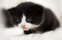 kitten (dagomir.oniwenko1) Tags: awesomexd administrationexsquisite mygearandme mygearandmepremium kitten kitty gatito 小貓 子猫 gatinho kotek canoneos60d canon vg~catsgallery edis08edis08 edis08 dagomironiwenko pet animal cat