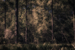 Ascension (abruptIy) Tags: trees light wild tree nature mystery forest dark landscape freedom evening woods flora quiet shadows florida wildlife south magic dream dramatic free eerie luna adventure elf fairy serenity mysterious tropical tropic moonlight dreamy serene 1855mm unreal wilderness lush magical enchanted elves elven 600d