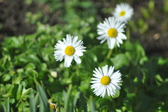 Pavilion_Gardens_0073 (Peter-Williams) Tags: uk flowers garden sussex countryside brighton crocus daffodil parkland carmelia paviliongardens