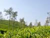 Tea leaves (Bhaskar Dutta) Tags: blue sky india green field leaves landscape dof tea kerala fresh plantation kalpetta wayenad