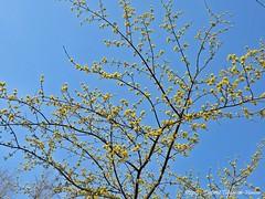lenteweer (dietmut) Tags: flowers trees bomen blossom nederland thenetherlands bloesem bloemen zuidholland 2014 cornusmas cornaceae hoogvliet panasoniclumix kornelkirsche zalmplaat gelekornoelje europeancornel dmcfx500 dietmut maartmarch yourfavorites89