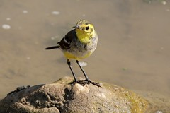 Cute little bird (Motacilla citreola, Citrine wagtail) (Frans.Sellies) Tags: bird oman stelze lavandera kwikstaart   citronvipstjert rla   wadidarbat  pliszkacytrynowa motacillacitreola bergeronnette  umman  vipstjert img2613  lavanderacetrina citronrla  zitronenstelze citroenkwikstaart bergeronnettecitrine  sitruunavstrkki  sitronerle