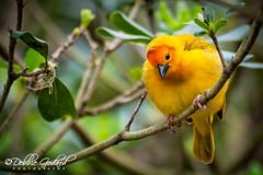 Golden Weaver (ms godard) Tags: nature birds animals closeup nikon neworleans fantasticnature escc goldenweaver d700 camerasouth debbiegodard shutterfoxes