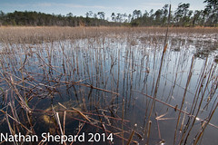 Chelydra serpentina (Nathan Shepard) Tags: canon spring pond angle nathan shots snapping turtle north wide basin carolina april common habitat ephemeral shepard wetland ecosystem serpentina 2014 chelydra longleaf 70d