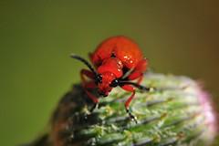 Aaa siz miydiniz? (Atakan Eser) Tags: flower nature bug v2 tabiat böcek dsc4127 çiçek doğa