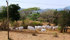 Cattle (Hear and Their) Tags: fray benito holguin cuba cattle beef herd