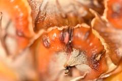 Ananas, Abacaxi, Pineapple (Jojorei) Tags: ananas abacaxi pineapple nikkor105micro micro macro frucht fruit obst natur pflanze plant nikon nikkor orange brown big detail exotisch exotic colorful farbig farben bunt muster struktur art kunst light licht geschmack taste genuss live life suess sauer sweet sour gesund healthy health gesundheit