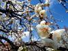 農業センター delaふぁーむ③ しだれ梅(3) (ebi-katsu) Tags: olympus pen epm2 農業センター delaふぁーむ flower plants tree weepingplum plum plumblossom しだれ梅 枝垂れ梅
