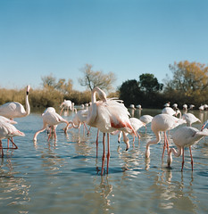 Flamingos (Yandesbois) Tags: rollei rolleiflex rolleiflex28f portra flamingos pinkfloyd flamantrose analog film filmisnotdead filmphotography landscape animals bird camargues