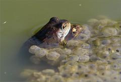 Sur un tas d'or (berthou.patrick) Tags: les grenouilles rousses