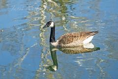 Reflecting (jmhutnik) Tags: pond water goose coonskinpark westvirginia charleston feathers wet