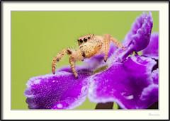 Araña saltadora - Jumping spider (J. Amorin) Tags: arañas insectos macuspana tabascomexico arañasaltadora jumpingspider amorin macro canon10028macro canon7d