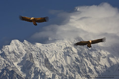 "The ""Himalayan Griffon Vulture"" (Noor Hussain.) Tags: himalayan vulture himalayanvulture himalayangriffonvulture gyps himalayensis gypshimalayensis iucn wwf iucnredlist natgeo bbc nature wildlifeofpakistan wildlife birdsofpakistan himalaya noorhussain ngc"