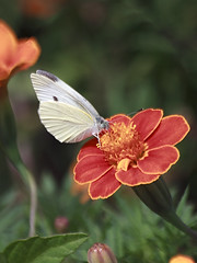 Pieris Rapae (Johnnie Shene Photography(Thanks, 2Million+ Views)) Tags: pierisrapae cabbagebutterfly whitebutterfly butterfly commonbutterfly lepidoptera perching resting awe wonder feeding vertical frontview highangle animal insect bug nature natural wild wildlife livingorganism tranquility macro closeup magnified adjustment fulllength marigold depthoffield flower floral flora day summer interesting beautiful plant canon eos600d rebelt3i kissx5 sigma apo 70300mm f456 dg zoom lens 배추흰나비 흰나비 나비 곤충 접사 동물 feeler