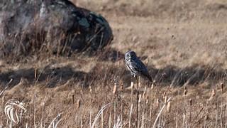 Great Grey Owl of the Adirondacks | 2017 - 5