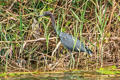 Little Blue Heron (fotofrysk) Tags: littleblueheron garcetaazul egrettacaerulea bird aves reeds lasisletas theislands lagodenicaragua lakenicaragua centralamericatrip nicaragua granada nikond7100 201702059573