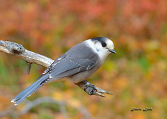 Grey Jay (Jamie Lenh Photography) Tags: nature wildlife birds greyjay nikon d7100 tamron 150600