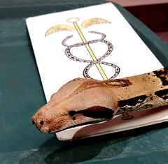 """""""Boca"""" teaching (EcoSnake) Tags: boca colombianboaconstrictor redtailboaconstrictor boaconstrictorconstrictor snakes reptiles education caduceus"""