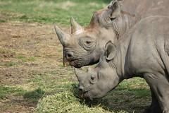 Black Rhinos (RedCat09) Tags: howletts blackrhino