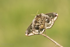Emperor Moth (Saturnia pavonia) (PeterBrooksPhotography) Tags: d5200 eastsussex emperormoth insect moth nikon peterbrooksphotography saturniapavonia saturniidae sigma120400 silkmoth sussex uk wildlife habitat