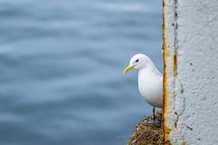 Seabird (lara_1012) Tags: norway lofoten animal bird sea white blue water wildlife gull rissa tridactyla seabird